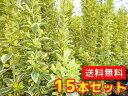 キンマサキ 【15本セット】 樹高0.4m前後 15cmポット 【T1送料無料】 斑入りマサキ きんまさき