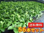 フッキソウ 【56本セット】 / 9cmポット 【送料無料】 (富貴草) ポット苗