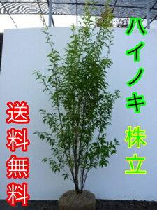 ハイノキ 樹高1.5m前後 根巻き / 【送料無料】 株立ちはいのき【灰の木】 常緑樹で5-6…