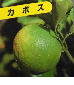 カボス 【5本セット】 樹高0.6m前後 15cmポット 【送料無料】 かぼす /