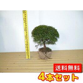 (【6ヵ月枯れ保証】条件有)キンメツゲ(玉物)樹高0.3m前後4本セット【送料無料】タマツゲ庭木//