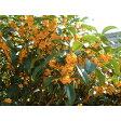 キンモクセイ / 樹高0.4m前後 10.5cmポット / 秋に花を咲かせ優しい香りが特徴生垣用 金木犀