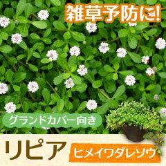 ※ただ今、春の植木祭り ♪♪リピア(ヒメイワダレソウ)(雑草を抑える♪手入れが楽♪) ※【...