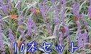 フイリヤブラン / 10.5cmポット 【10本セット】 【