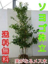 【送料無料】ソヨゴ樹高1.5m前後株立ち常緑樹人気の庭木