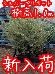 【送料無料】シルバープリペット樹高1.2m前後