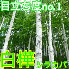 シラカシ[セット商品]人気の株立ち樹高0.6m前後15本セット