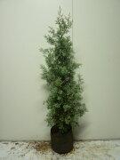シンボツツリー・クリスマスツリー コニファー