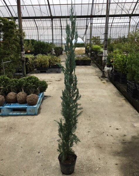 ガーデニング・農業, 植木  1.2m 18cmor Y1