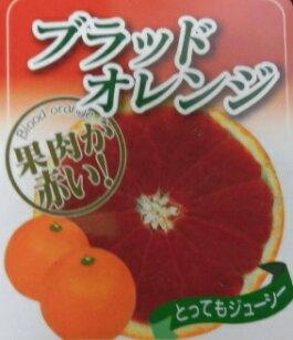 ブラッドオレンジ【単品】樹高0.3m前後9cmポット/オレンジぶらっどおれんじ