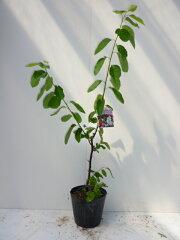 ※ただ今、春の植木祭り ♪♪ジューンベリー 樹高0.5m前後      春に白い花が咲き、6月...