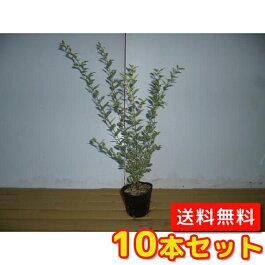 (【6ヵ月枯れ保証】条件有)シルバープリペット樹高0.3m前後10本セット【送料無料】3.5号(10.5cm)ポットポット入り苗生垣用