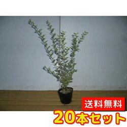 【送料無料】シルバープリペット樹高0.6m前後