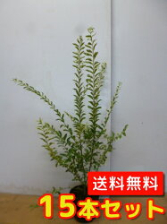 (【6ヵ月枯れ保証】条件有)シルバープリペット樹高0.6m前後15本セット【送料無料】大ポット入り生垣用/