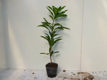 ヤマモモ・モリグチ/樹高0.5m前後15cmポット/(山桃・やまもも)品種:モリグチ(森口)接木苗