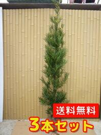 ラカンマキ生垣樹高1.5m前後