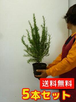 (【6ヵ月枯れ保証】条件有)ローズマリー樹高0.3m前後5本セット【送料無料】15.0cmポット大苗。立ち性ガーデニングに♪植え替え・寄せかご・寄せ植えなどに♪/