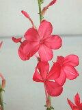 プルンパーゴ(ルリマツリ)インディカ赤花(3号)