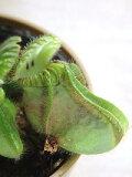 食虫植物セファロタス(3号)