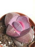 多肉植物紫帝玉(メセンプレイオスピロス)(2.5号)