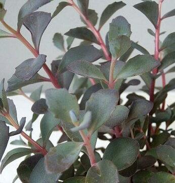 多肉植物カラス葉ミセバヤ(セダム)(3号)