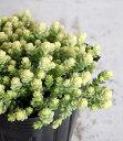 グリーンからクリーム色のグラデーションがキュート♪多肉植物 アクレアウレウム(セダム)(3...