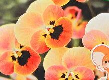 【秋冬予約品C】※見元園芸オリジナルビオラオレンジコアラ(3号)/みもと/ミモト/mimoto【お届けは11月19日以降です】