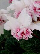 シクラメン 八重咲き ローゼスピンクバイカラー