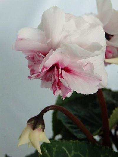 シクラメン八重咲きローゼスピンクバイカラー(3号)