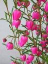 ボロニア ヘテロフィラ ピンク花(3号)