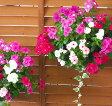 ニチニチソウのハンギング 寄せ植え「カラフルMIX」夏ー秋の花苗でトップクラスの育てやすさ!炎天下で次々咲きます (寄せ植え フラワー
