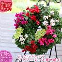 【ガーデンシクラメンのハンギング*リング】花うるるロングセラ...