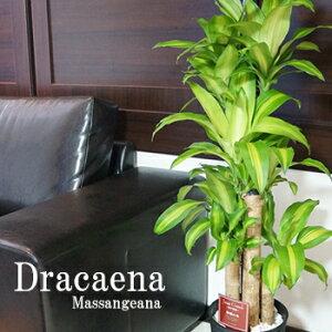 楽天★1位!!幸福の木 観葉植物 ドラセナ マッサンゲアナ 幸福の木 8号鉢 黒丸鉢 白丸鉢 …