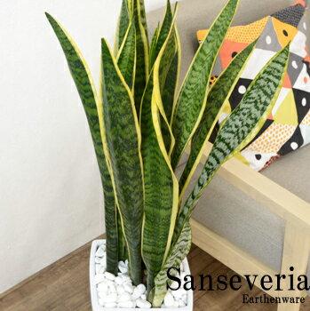 サンスベリア(サンセベリア) 90cm〜110cm スタイリッシュな白陶器鉢◆送料無料◆マ...