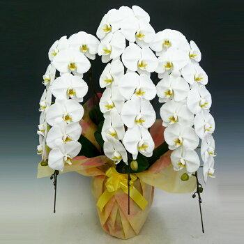 豪華胡蝶蘭3本立ち45輪以上保証(つぼみ含む)