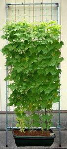 *クリーンで簡単エコ、夏場の節電と温暖化抑止に一役 植物のグリーンカーテン(緑のカーテン)...
