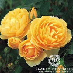 イングリッシュローズ −English Roses−【エントリーで店内全商品ポイント10倍!】【バラ苗】...