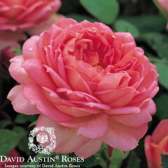 イングリッシュローズ -English Roses-【バラ苗】【David Austin / デビッド・オースチン】...