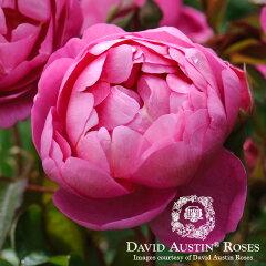 イングリッシュローズ −English Roses−/バラ苗/David Austin / デビッド・オースチン/ロイ...