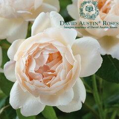 イングリッシュローズ −English Roses−/バラ苗/David Austin / デビッド・オースチン/ウォ...