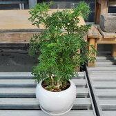 ポリシャス 白鉢 4寸 陶器 皿付き 観葉植物 はっぴーくろーばー