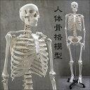 1年保証 人体模型 約166cm 人体骨格模型 等身大の人体...