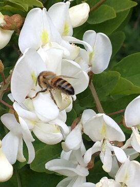Mielizia(ミエリツィア) イタリア産アカシアの有機ハチミツ(純粋) 250g 蜂蜜 EUオーガニック規定認定商品