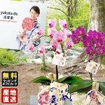 ミニ胡蝶蘭yukatade胡蝶蘭4号鉢植え1本立てピンクライトピンク/お中元ギフトに花のプレゼント生花鉢植え開店祝いに母の日父の日
