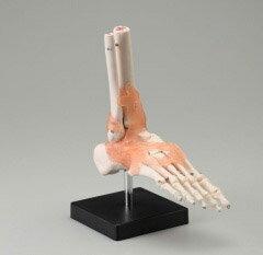 人体模型 足関節模型〜JM-047