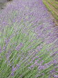 グロッソラヴェンダー(ラベンダーグロッソ・ラヴァンジングロッソ) ハーブ苗 9vp Grosso Lavender