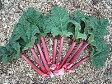 ルバーブ(ショクヨウダイヨウ、マルバダイオウ) ハーブ苗 9vp Rhubarb