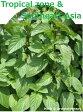 「熱帯地方・東南アジアのハーブ12種セット」ハーブ苗おまかせ12種セット  9vp×12ポット Herbs of the Toropical & Southeast Asia