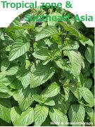 「熱帯地方・東南アジアのハーブ12種セット」ハーブ苗おまかせ12種セット9vp×12ポットHerbsoftheToropical&SoutheastAsia