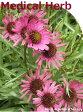 「薬用のハーブ苗12種セット」ハーブ苗おまかせ12種セット  9vp×12ポット Medical Herb